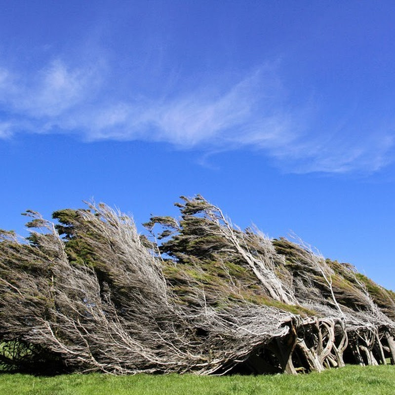 The Windswept Trees at Slope Point, New Zealand
