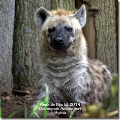 Hyena's Amersfoort
