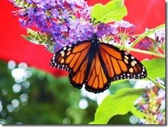 Butterflies in My Yard-003