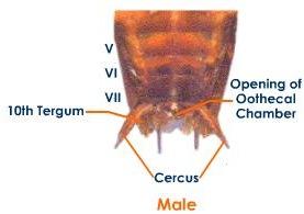 male cockroach