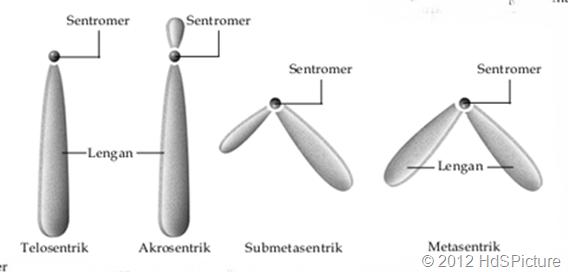 bentuk-bentuk kromosom