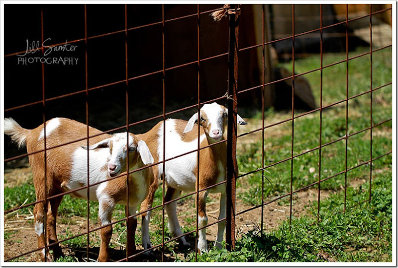 goats-5662