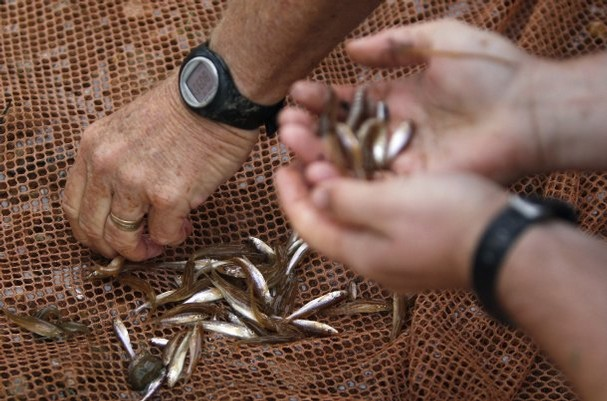 Wilde (left), and research assistant Aaron Urbanczyk sort through minnows, 17 September 2011. The fish the pair are looking for are found only in the Brazos and nowhere else in the world and are both candidates to be listed as threatened or endangered under the federal Endangered Species Act. They will be taken to the state's fish hatchery near Possum Kingdom Lake but returned to the river when the drought abates. LM Otero / AP