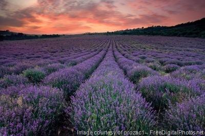 Lavender Field by FreeDigitalPhotos.net