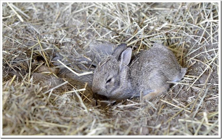 spring -baby rabbits 030 Fb