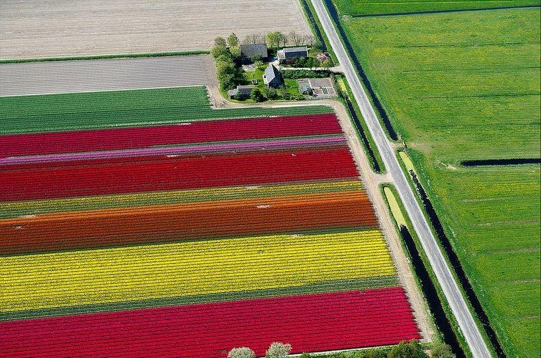 tulip-field-0