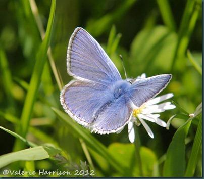 16-common-blue