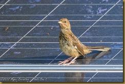 Vesper Sparrow (Pooecetes gramineus),