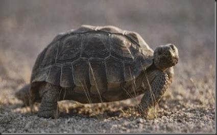 desert-tortoise-jonathan-s-blair-ngs