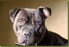 brindle staffie