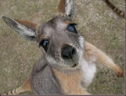 Amazing Animal Pictures Kangaroo (10)