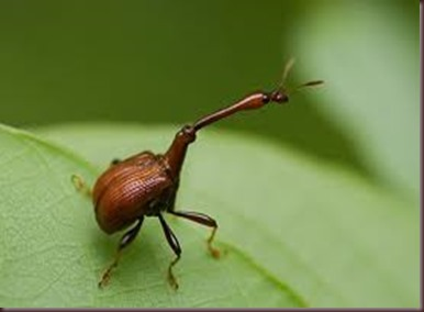 Amazing Pictures of Animals, photo, Nature, exotic, funny, incredibel, Zoo, Giraffe weevil, Insecta, Alex (1)