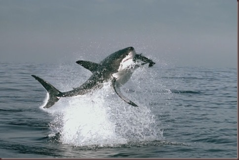 Amazing Animals Pictures White Shark (2)