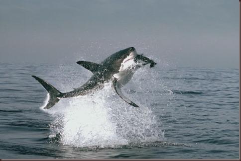 Amazing Animals Pictures White Shark (2)