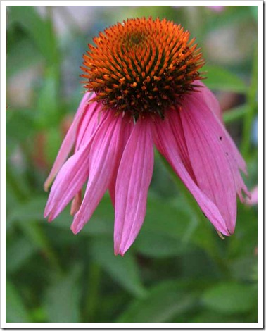 120615_Echinacea-Kims-Knee-High_07