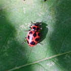 Twelve-spotted Ladybug  (male)