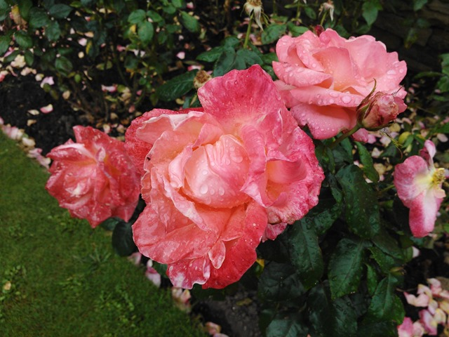 raindrop covered roses