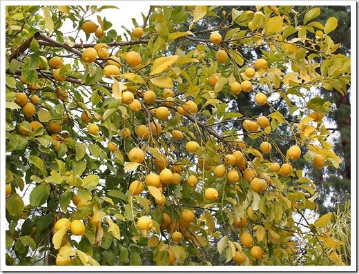 Citrus Nursery California Thenurseries