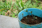 Baby Weed Plants