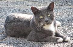 smokey kitty in driveway2..10.2013