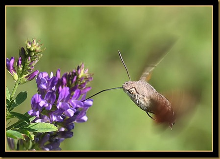 esfingue colibri