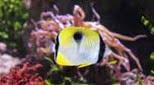 Biodiversité poisson papillon larme
