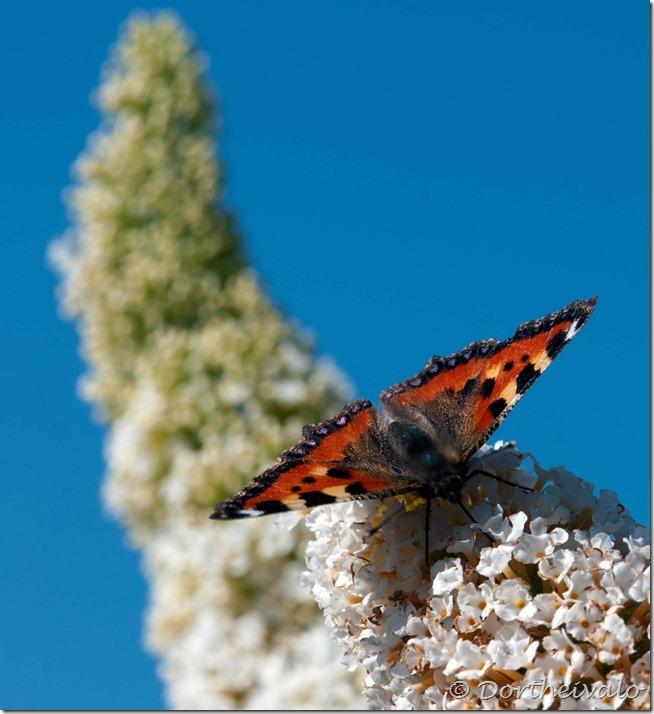 lillesommerfugl