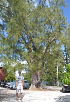 Long-needle pine