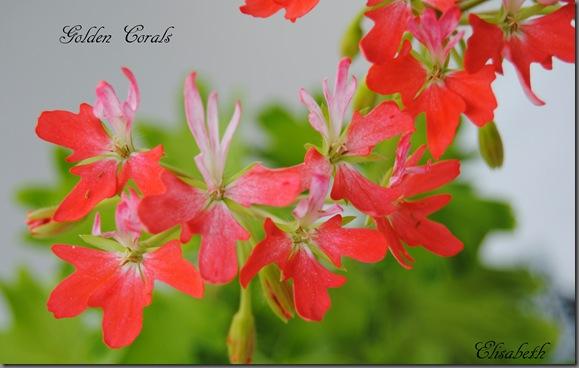 Pelargonium juni-11 007