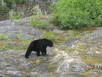 Black Bear at Exit Glacier.
