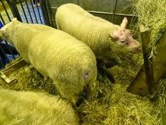 2015.02.26-009 mouton Cotentin