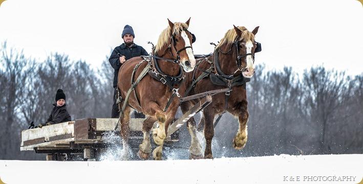 BELGIAN HORSES 2013 (22)