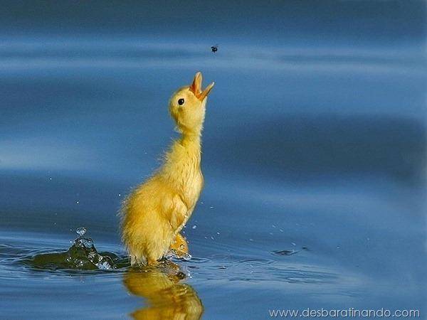filhotes-patos-fofos-pequenos-desbaratinando (20)