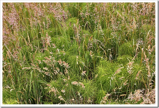 110712_grasses_horsetail