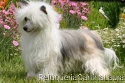 perro-crestado-con pelo