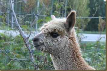 Alpakkagutten NC Big Bang, sønn av Viella og Corazon