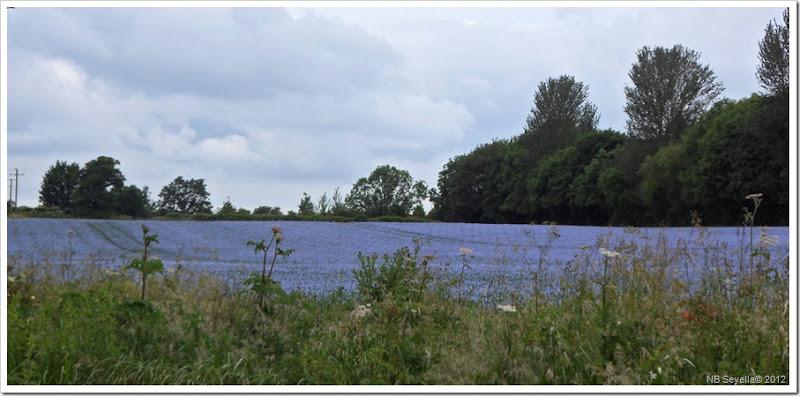 SAM_1053 Field full of blue stuff