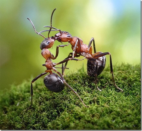 macrofotografii cu furnici
