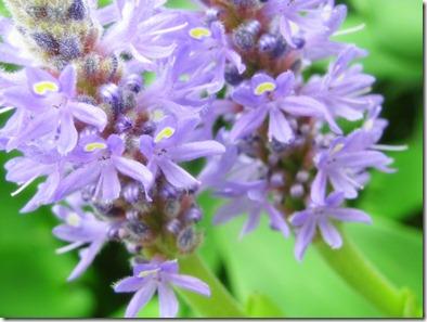 purple pond plants