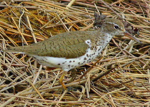 8-1-09, Minor Clark Fish Hatchery, Spotted Sandpiper, 5:27 p.m.