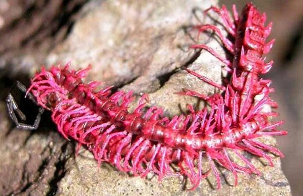 pink Millipede
