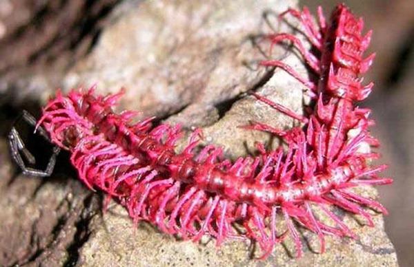 pink Millipede