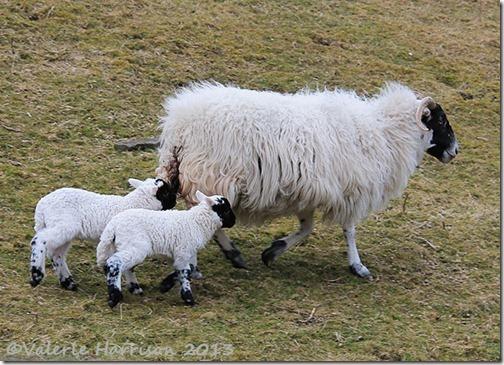 25-sheep-and-lambs