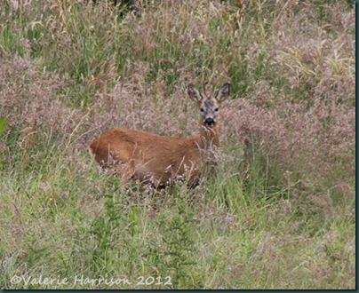 56-Roe-Deer