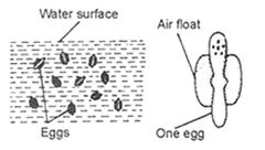 Anopheles eggs