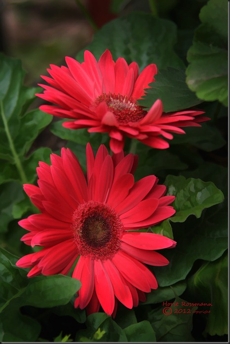 Gerbera Daisy in my Garden copy