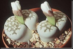 Lithops-Julii-buds1