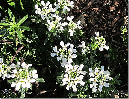 Candytuft_Iberis_March22