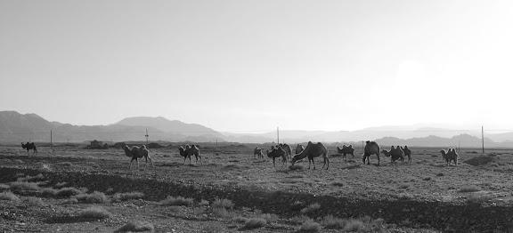 Tianshan - troupeau de chameaux