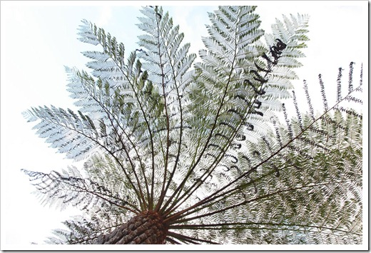 100104-Sarah-Island,-Tasmania,-tree-ferns_11